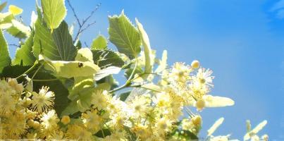 Мочегонная трава для почек и мочегонные сборы трав